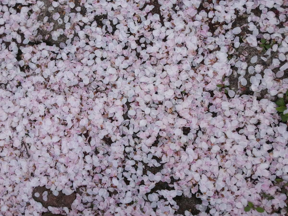 櫻花。櫻花。全是櫻花!【釜山 ‖ 鎮海余佐川櫻花道+慶和站賞櫻實錄】