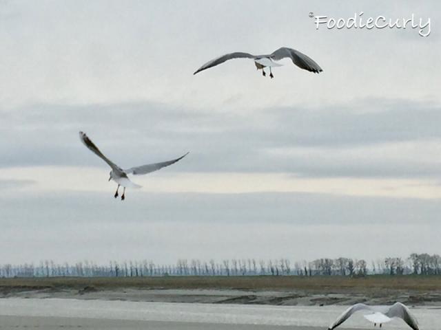 很多海鷗來覓食,構成美麗的畫面。