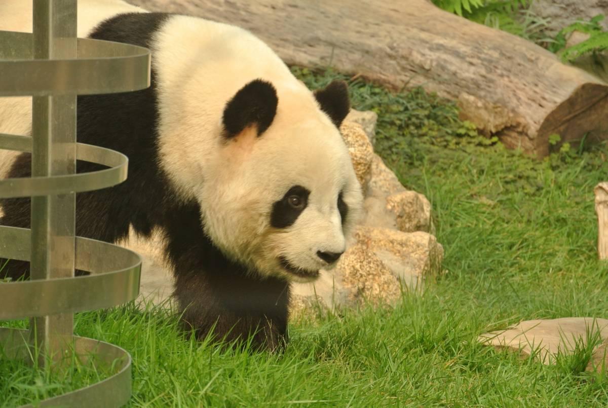 熊猫图片大全可爱真实