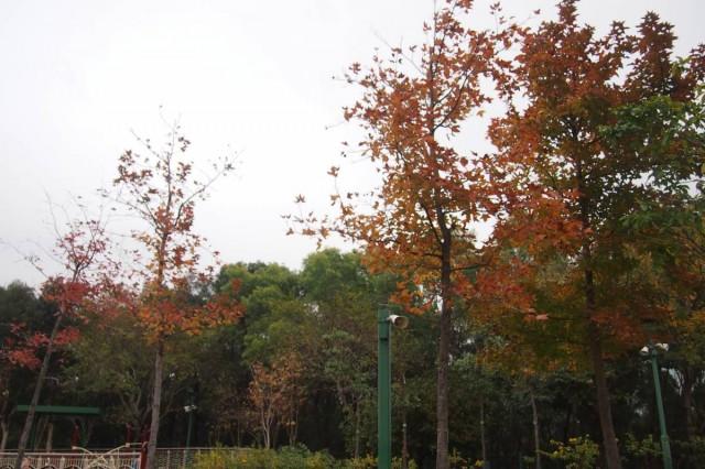 第十一個 紅葉 景點 九龍 觀塘 香港 清水灣道 佐敦谷公園 草地